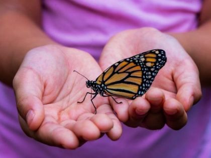 Monarch Butterfly (non Bromeliad related)